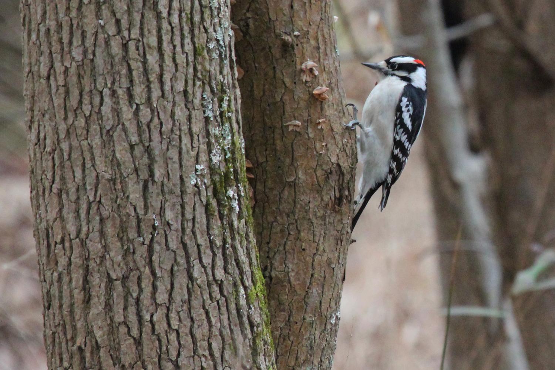 Downy Woodpecker / 12 Jan / Stumpy Lake NA