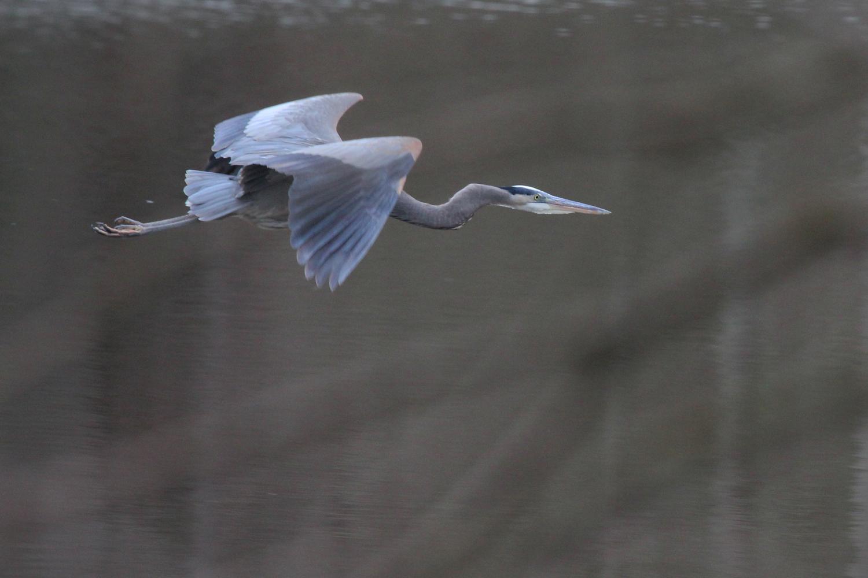 Great Blue Heron / 12 Jan / Stumpy Lake NA