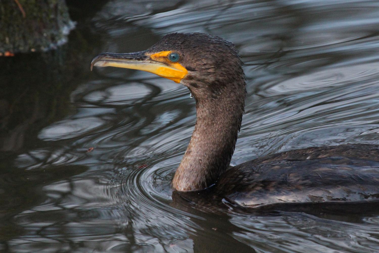 Double-crested Cormorant / 16 Jan / Stumpy Lake NA