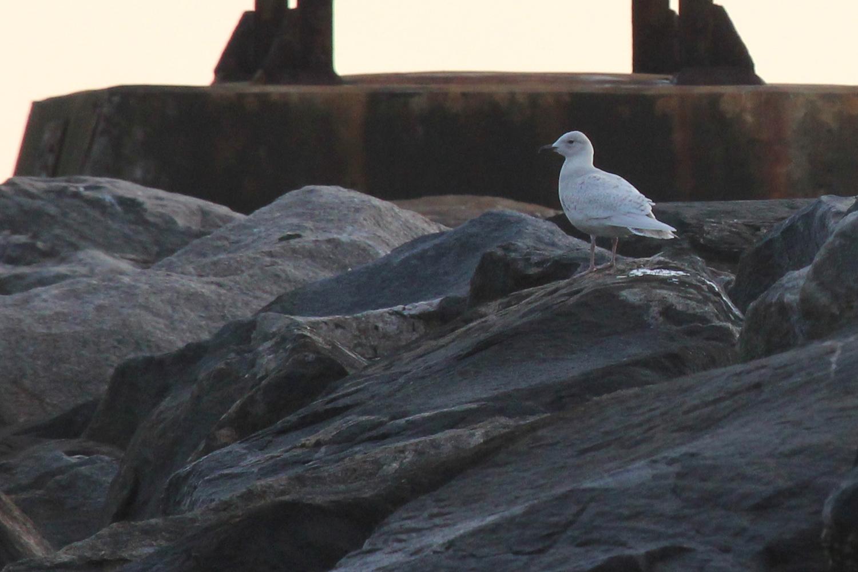 Iceland Gull / 17 Jan / Rudee Inlet