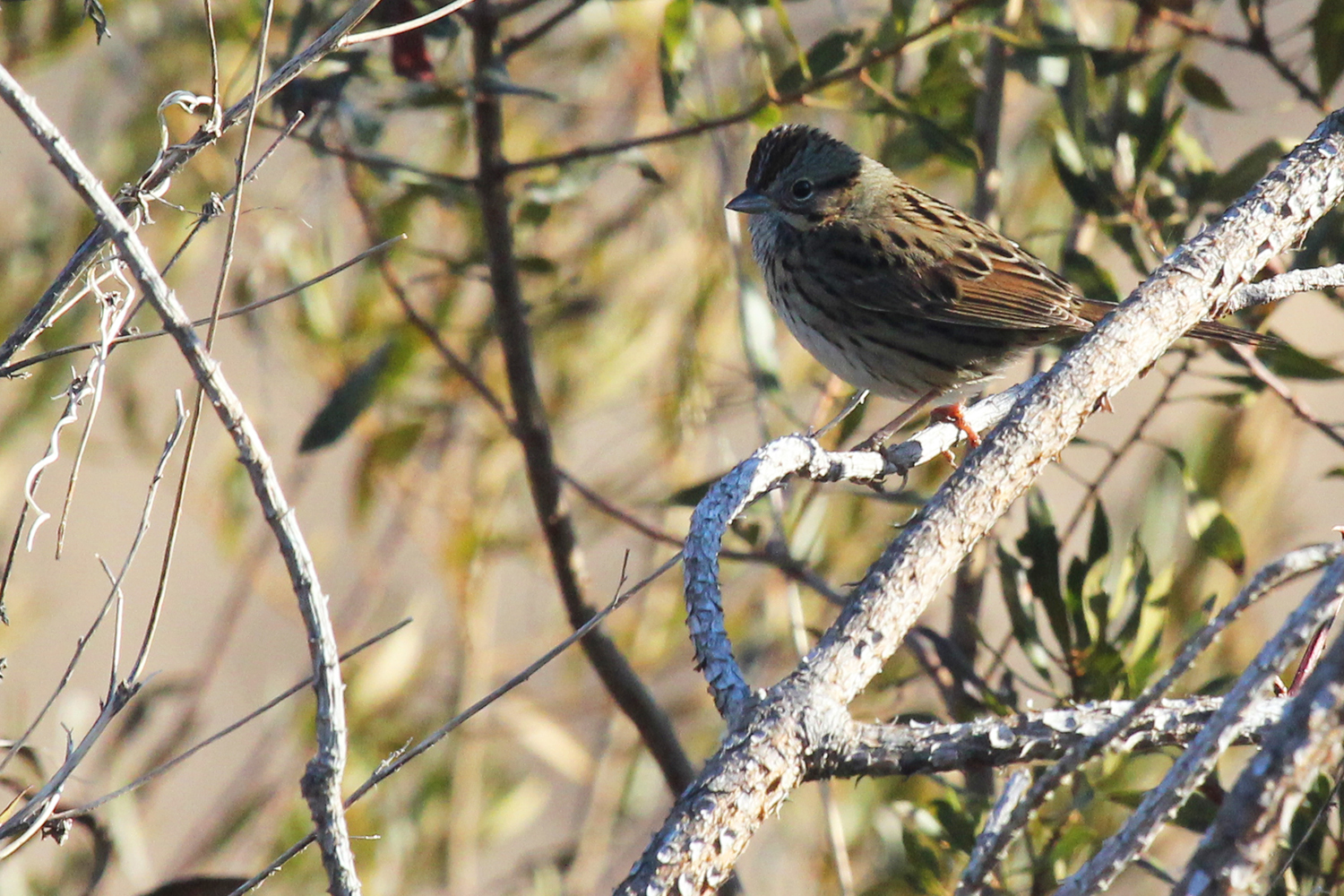 Lincoln's Sparrow / 10 Feb / Princess Anne WMA Whitehurst Tract