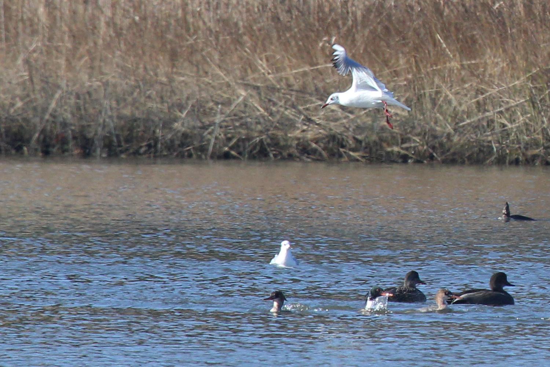 Red-breasted Merganser, Ring-billed Gull, Black-headed Gull & Hooded Merganser / 2 Feb / Pleasure House Point NA