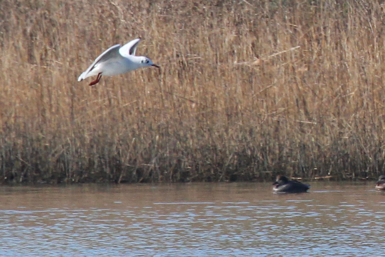 Black-headed Gull & Gadwall / 2 Feb / Pleasure House Point NA