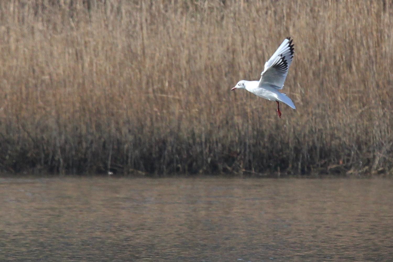 Black-headed Gull / 2 Feb / Pleasure House Point NA