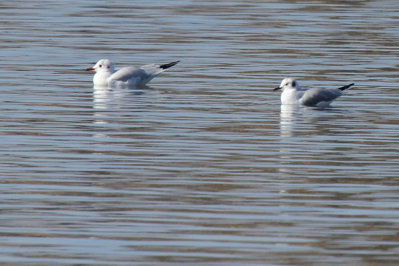 Black-headed & Bonaparte's Gull / 2 Feb / Pleasure House Point NA