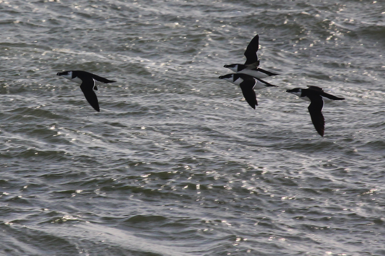Razorbills / 9 Feb / Little Island Park