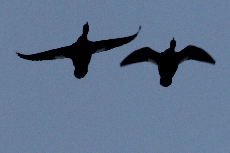 Common/Red-breasted Mergansers / 1 Feb / Stumpy Lake NA