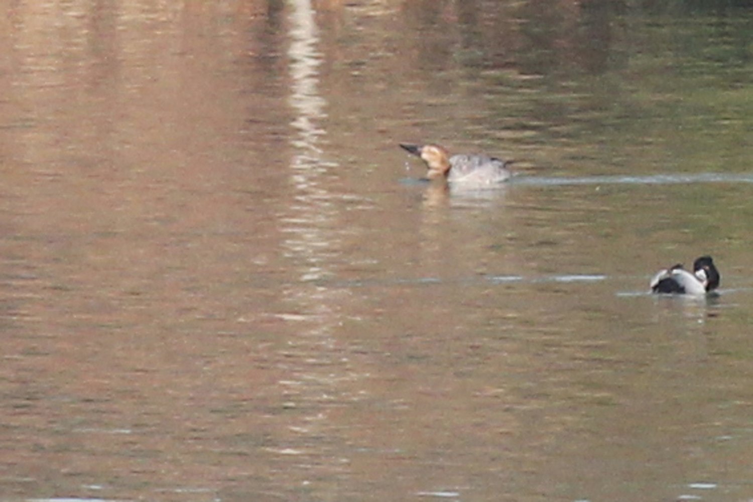 Canvasback & Ring-necked Duck / 2 Feb / North Witchduck Lakes