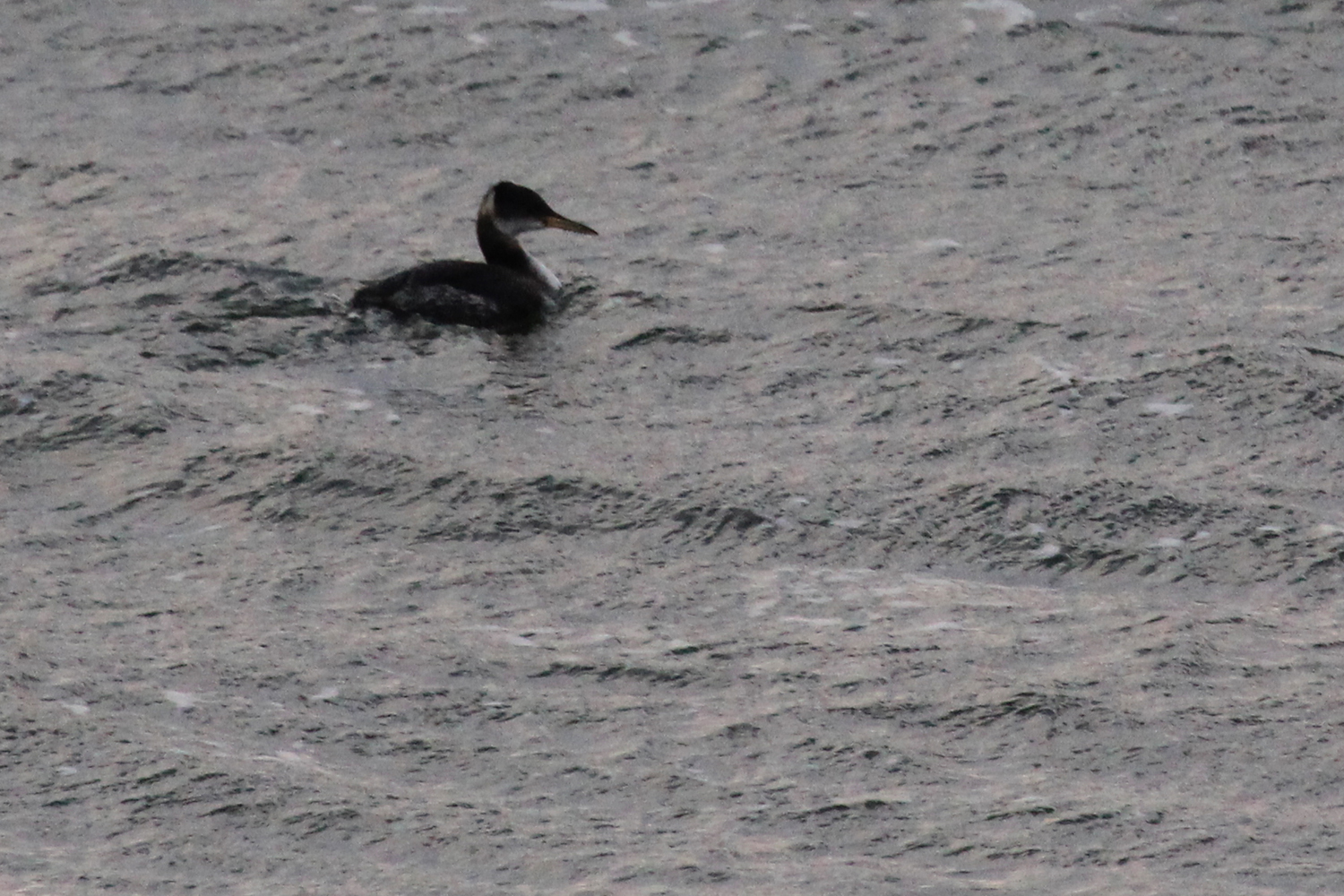 Red-necked Grebe / 9 Feb / Little Island Park