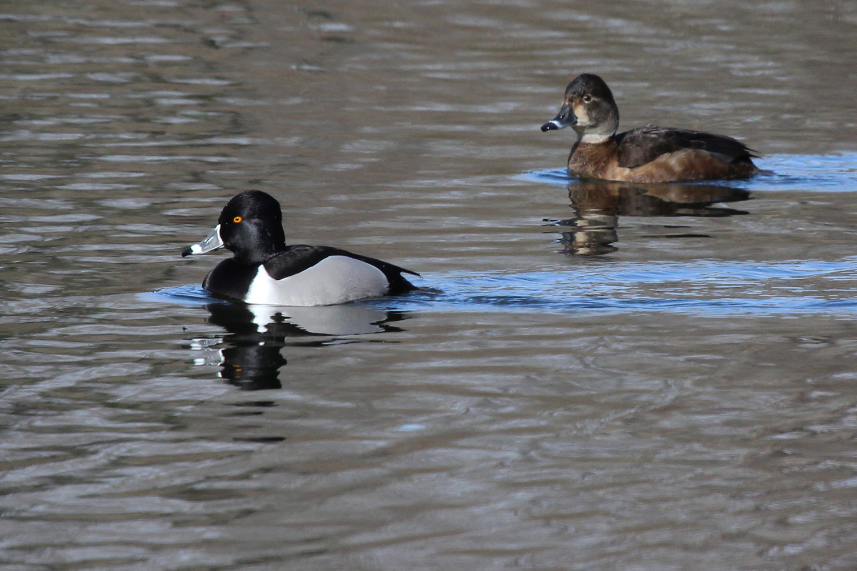 Ring-necked Ducks / 1 Feb / Kings Grant Lakes