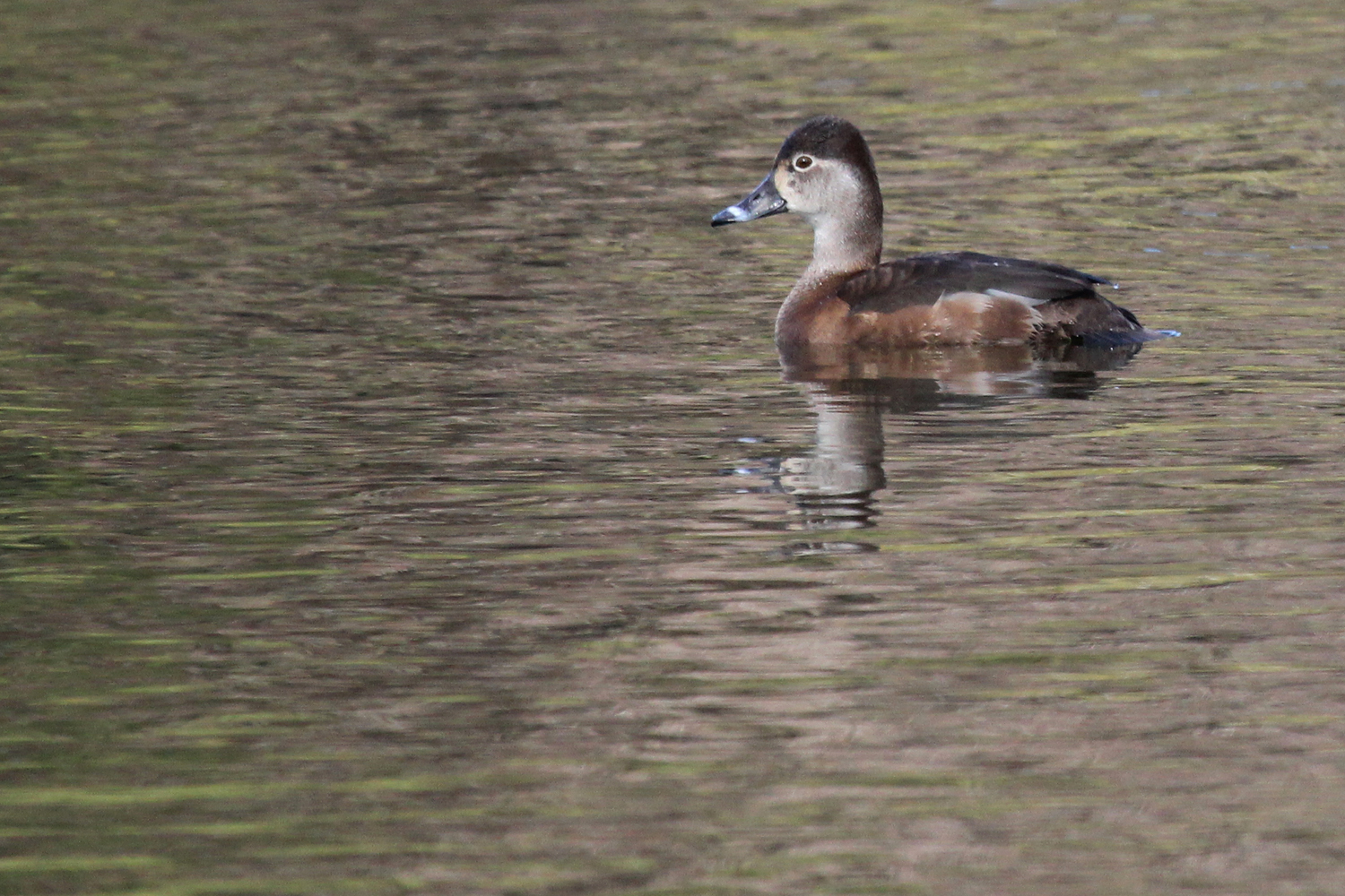 Ring-necked Duck / 1 Feb / Kings Grant Lakes