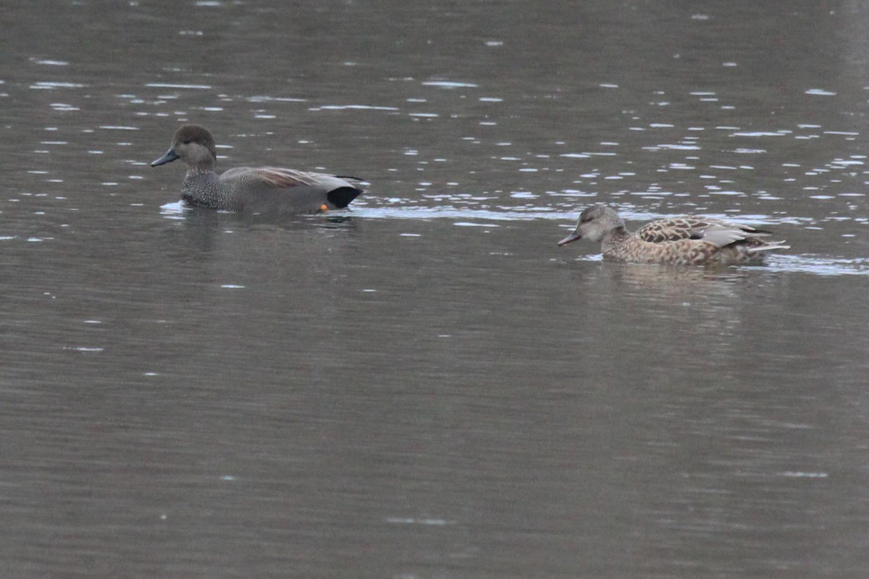 Gadwall / 1 Feb / Kings Grant Lakes