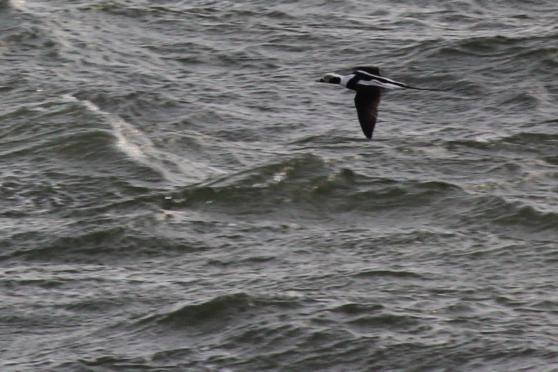 Long-tailed Duck / 9 Feb / Little Island Park