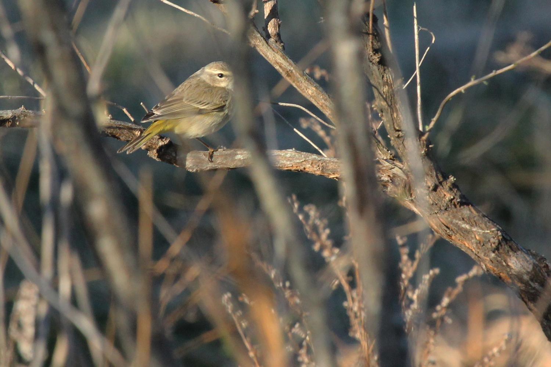 Palm Warbler (Western) / 10 Feb / Princess Anne WMA Whitehurst Tract