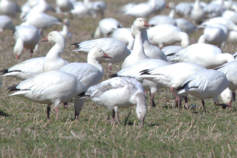 Snow Geese / 10 Feb / Muddy Creek Rd.