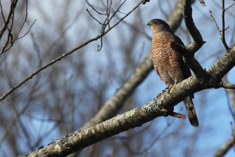 Cooper's Hawk / 1 Feb / Kings Grant Lakes
