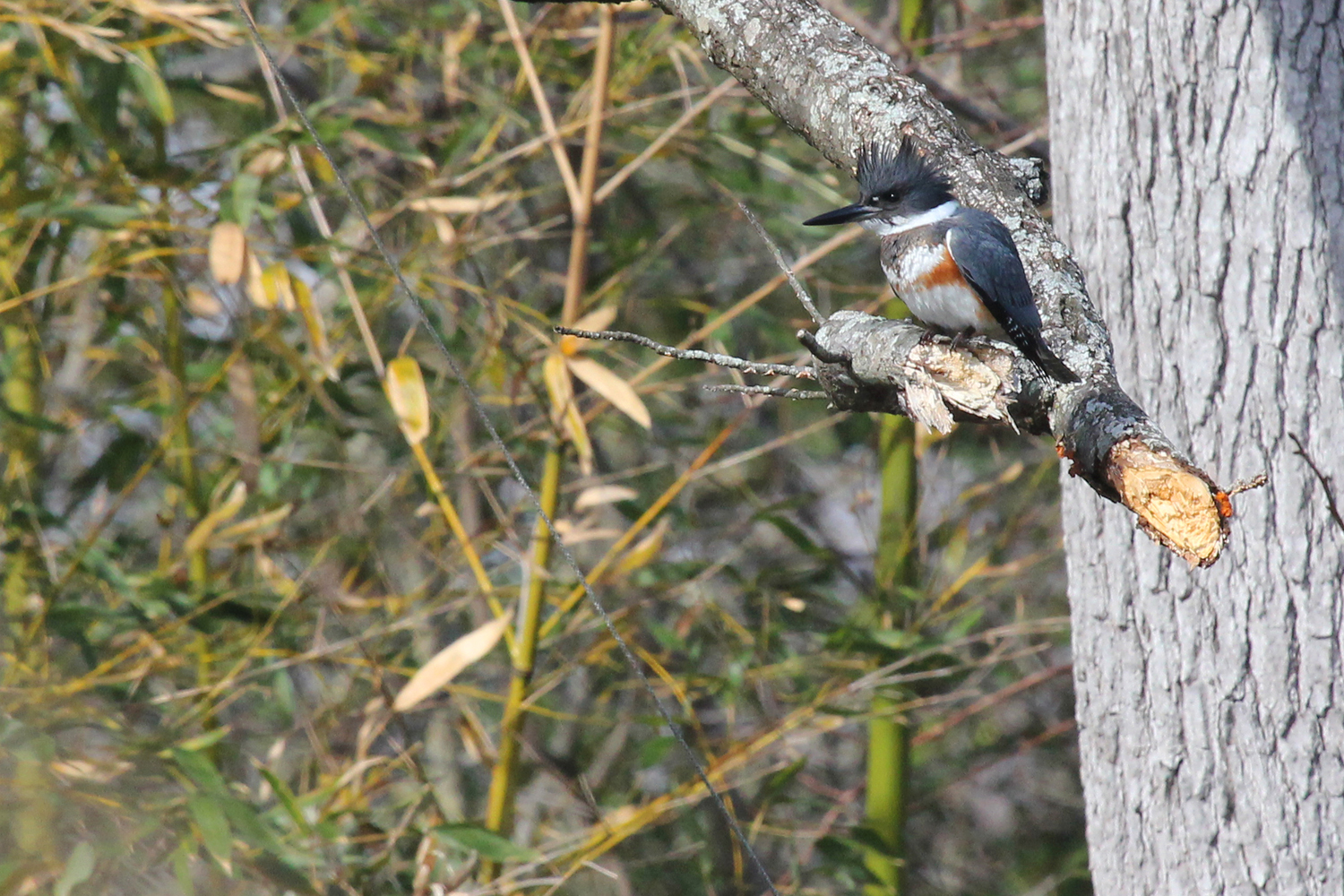 Belted Kingfisher / 1 Feb / Kings Grant Lakes
