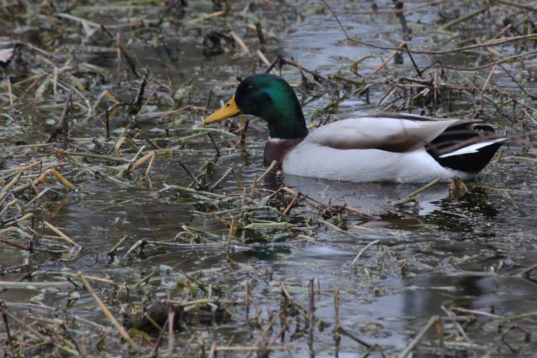 Mallard / 1 Feb / Stumpy Lake NA