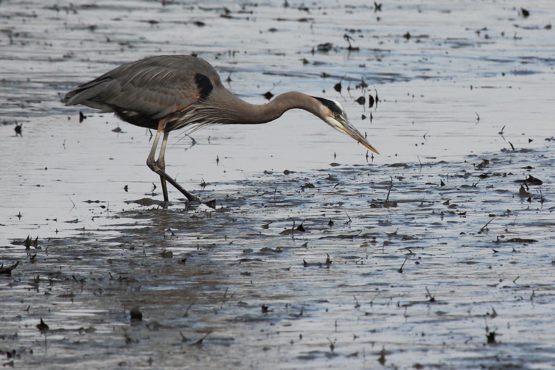 Great Blue Heron / 1 Feb / Kings Grant Lakes