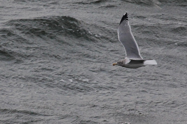 Herring Gull / 9 Feb / Little Island Park