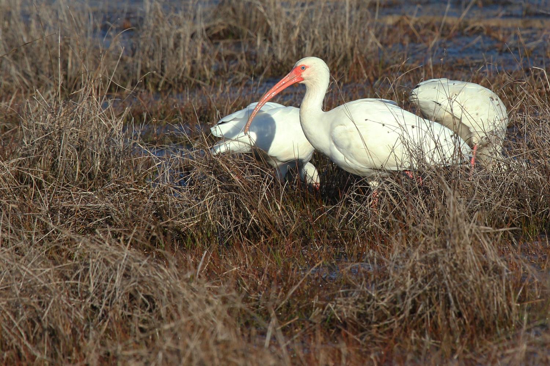 White Ibis / 10 Feb / Princess Anne WMA Whitehurst Tract