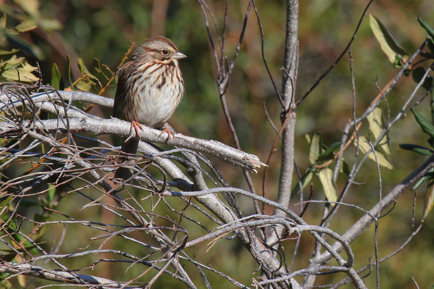 Song Sparrow / 10 Feb / Princess Anne WMA Whitehurst Tract