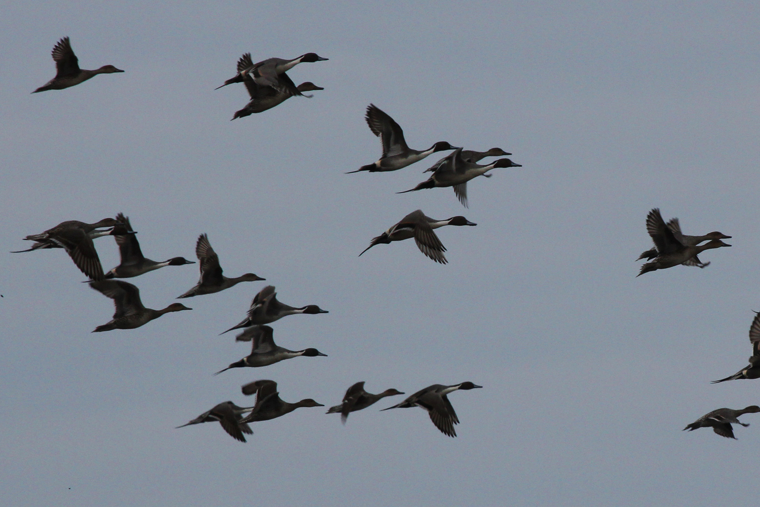 Northern Pintails / 17 Feb / Princess Anne WMA Whitehurst Tract