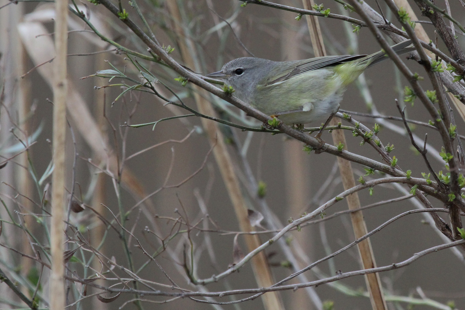 Orange-crowned Warbler / 17 Feb / Princess Anne WMA Whitehurst Tract