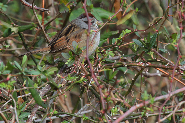 Swamp Sparrow / 17 Feb / Princess Anne WMA Whitehurst Tract