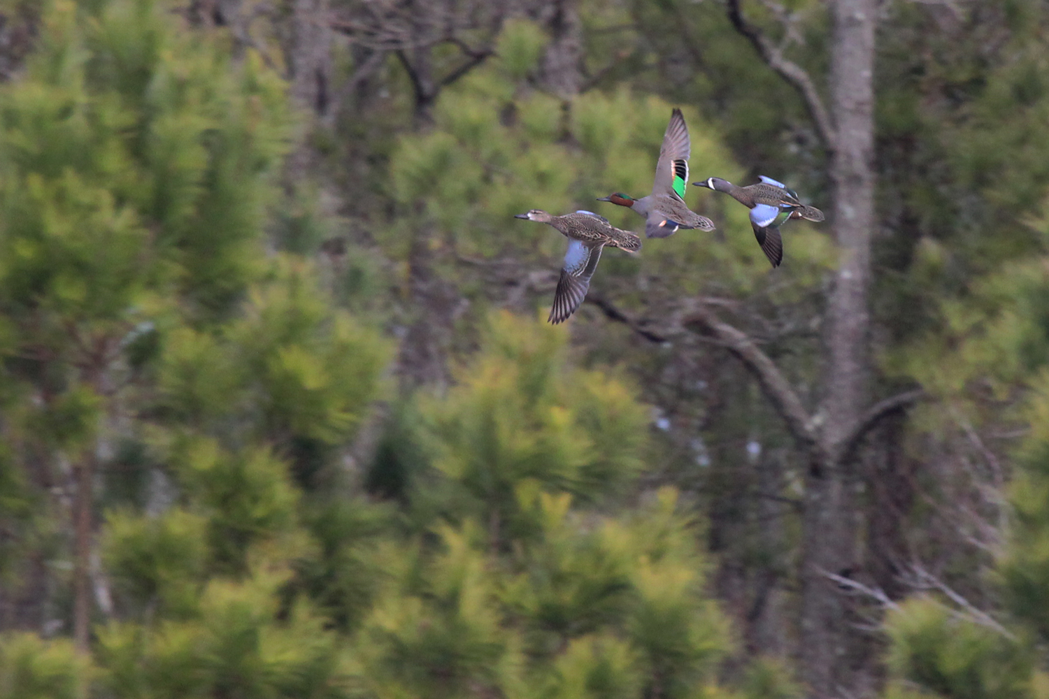 Blue-winged & Green-winged Teal / 17 Feb / Princess Anne WMA Beasley Tract
