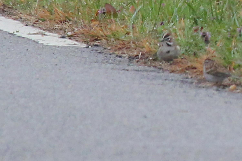 Lark Sparrow / 24 Feb / West Gibbs Rd.