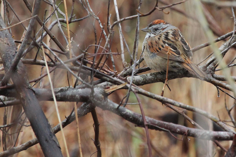 Swamp Sparrow / 24 Feb / Princess Anne WMA Whitehurst Tract
