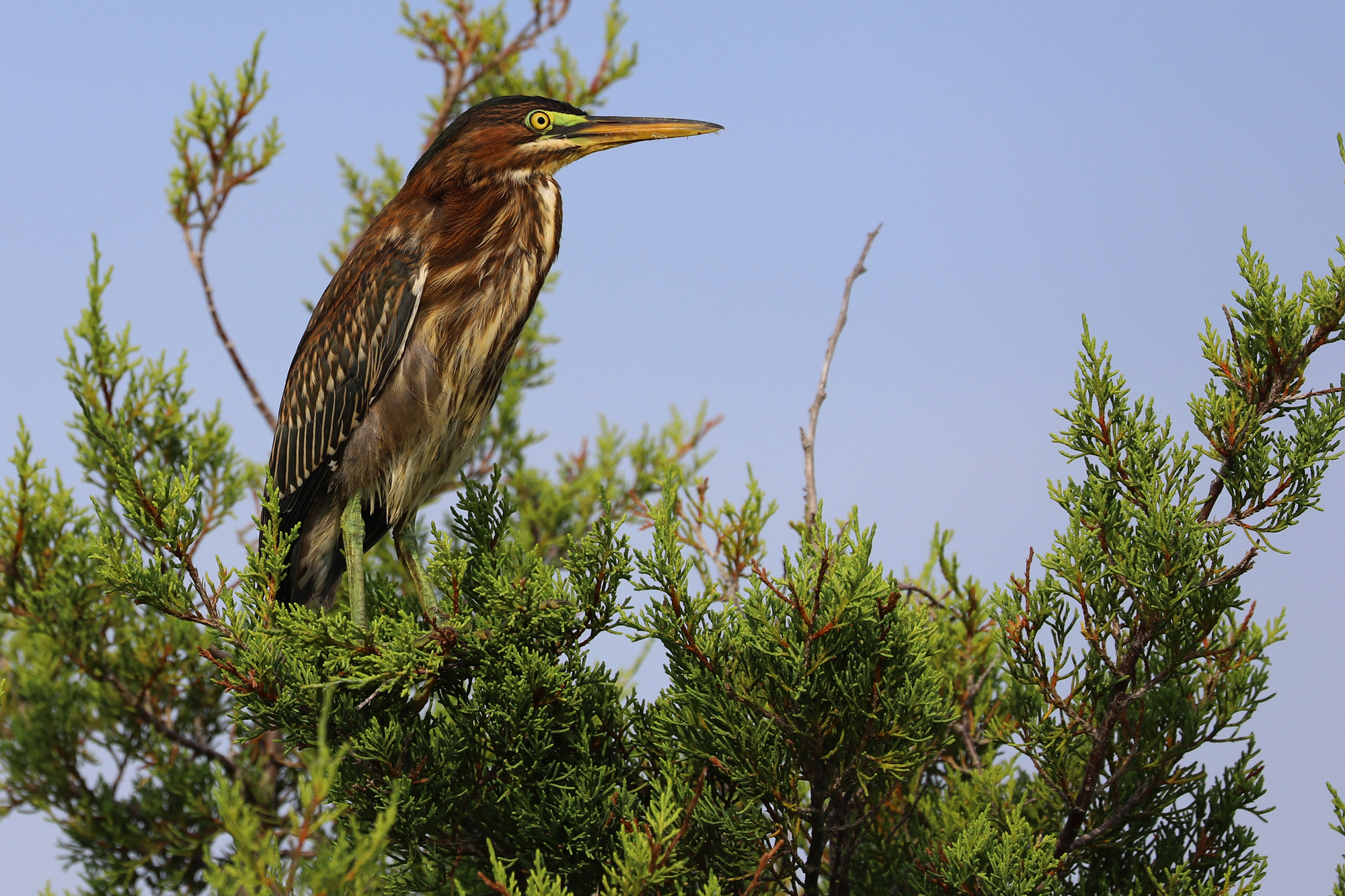Green Heron Making Itself At Home Along >> Current Journal Entry Birding Virginia Beach