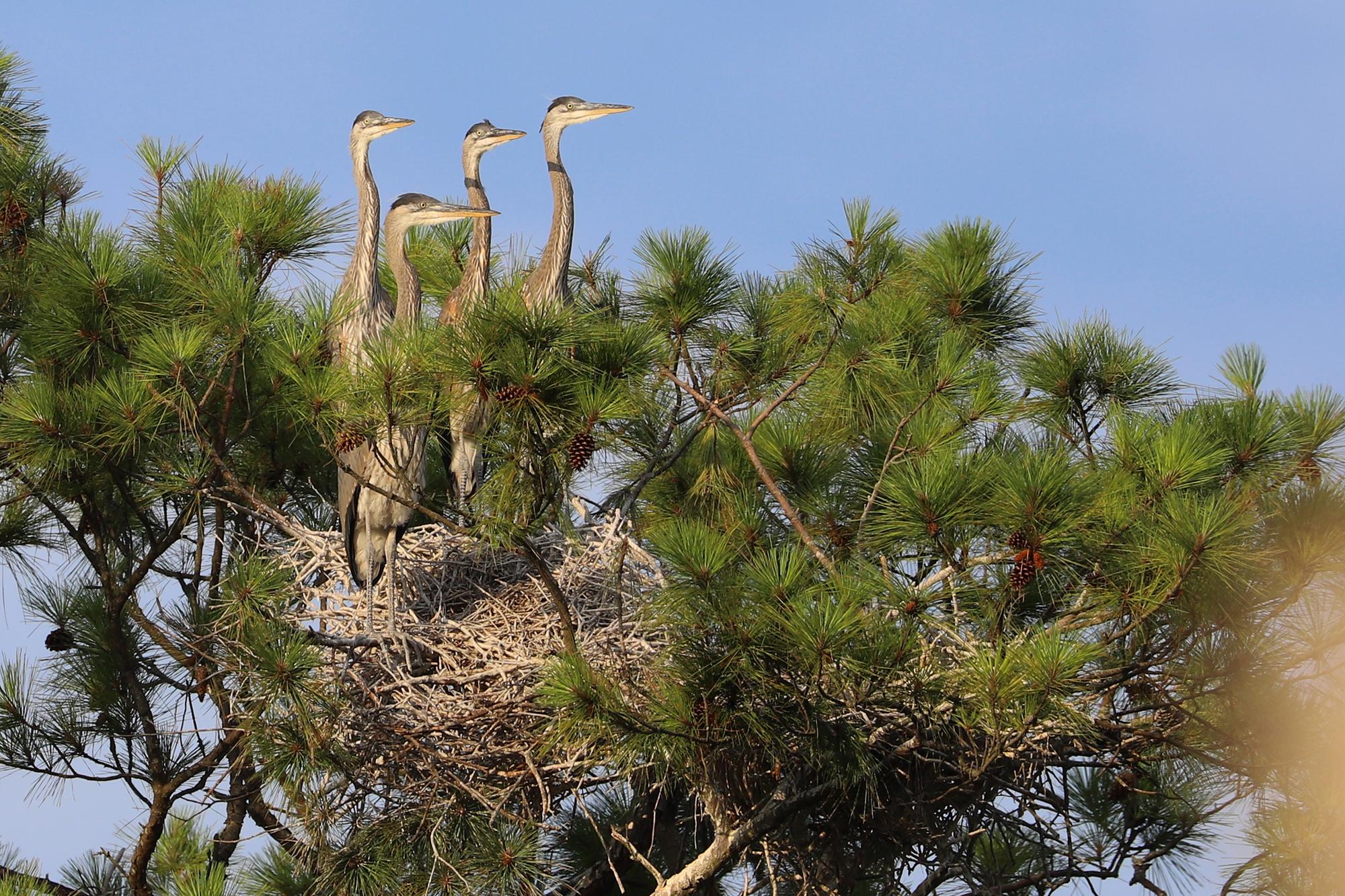 Great Blue Herons / 4 Jul / First Landing SP