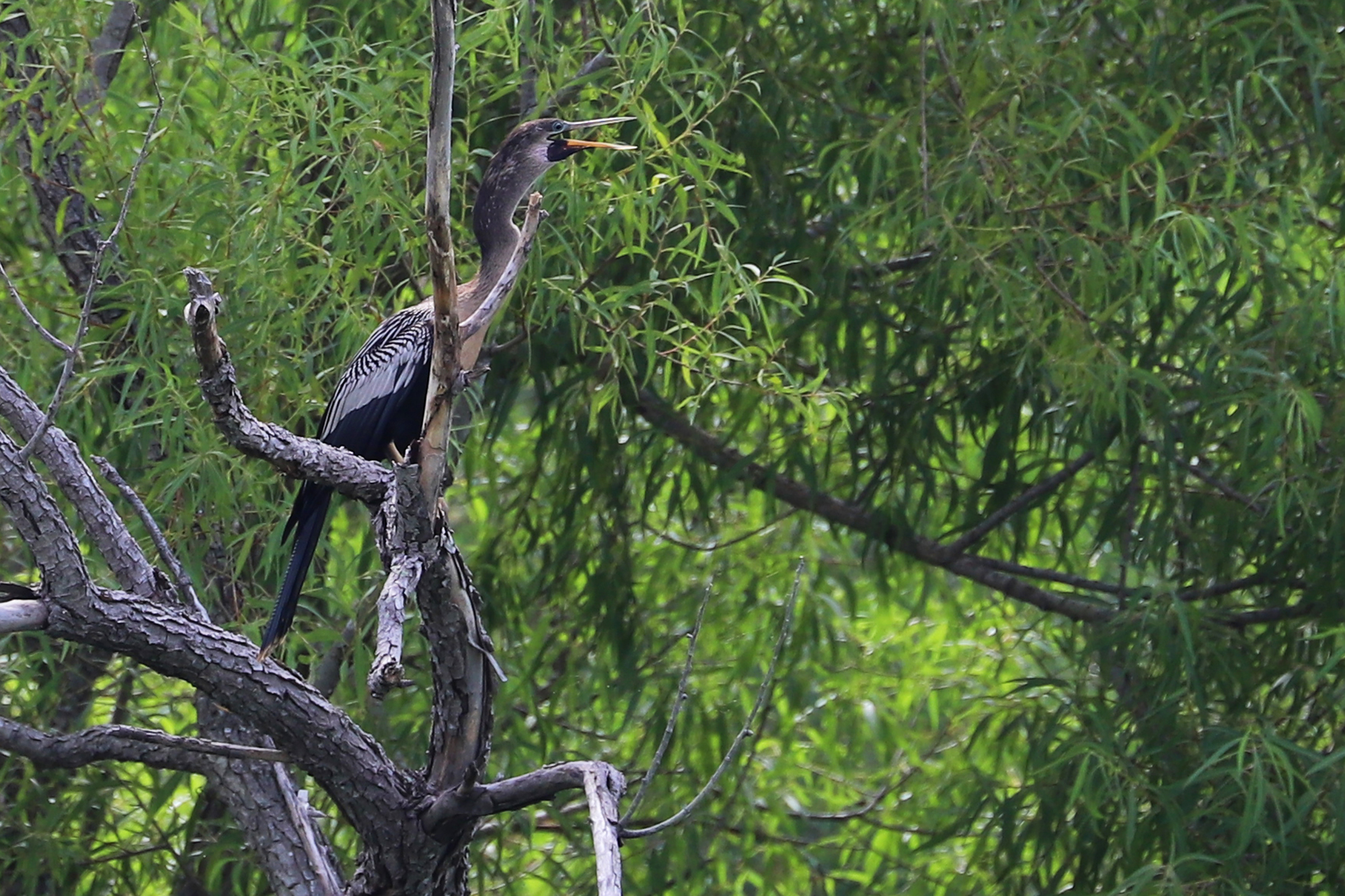 Anhinga / 4 Jul / Rock Creek Recreation Area (Private)