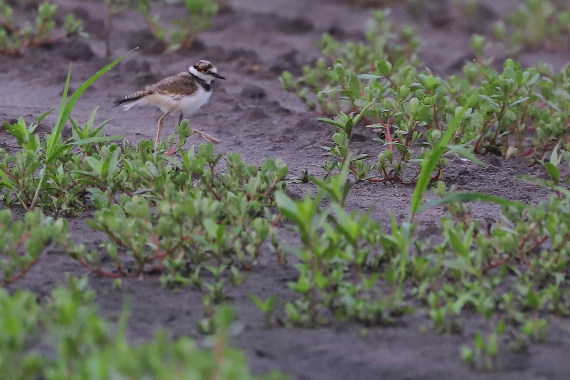 Killdeer fledgling / 6 Jul / Muddy Creek Rd.