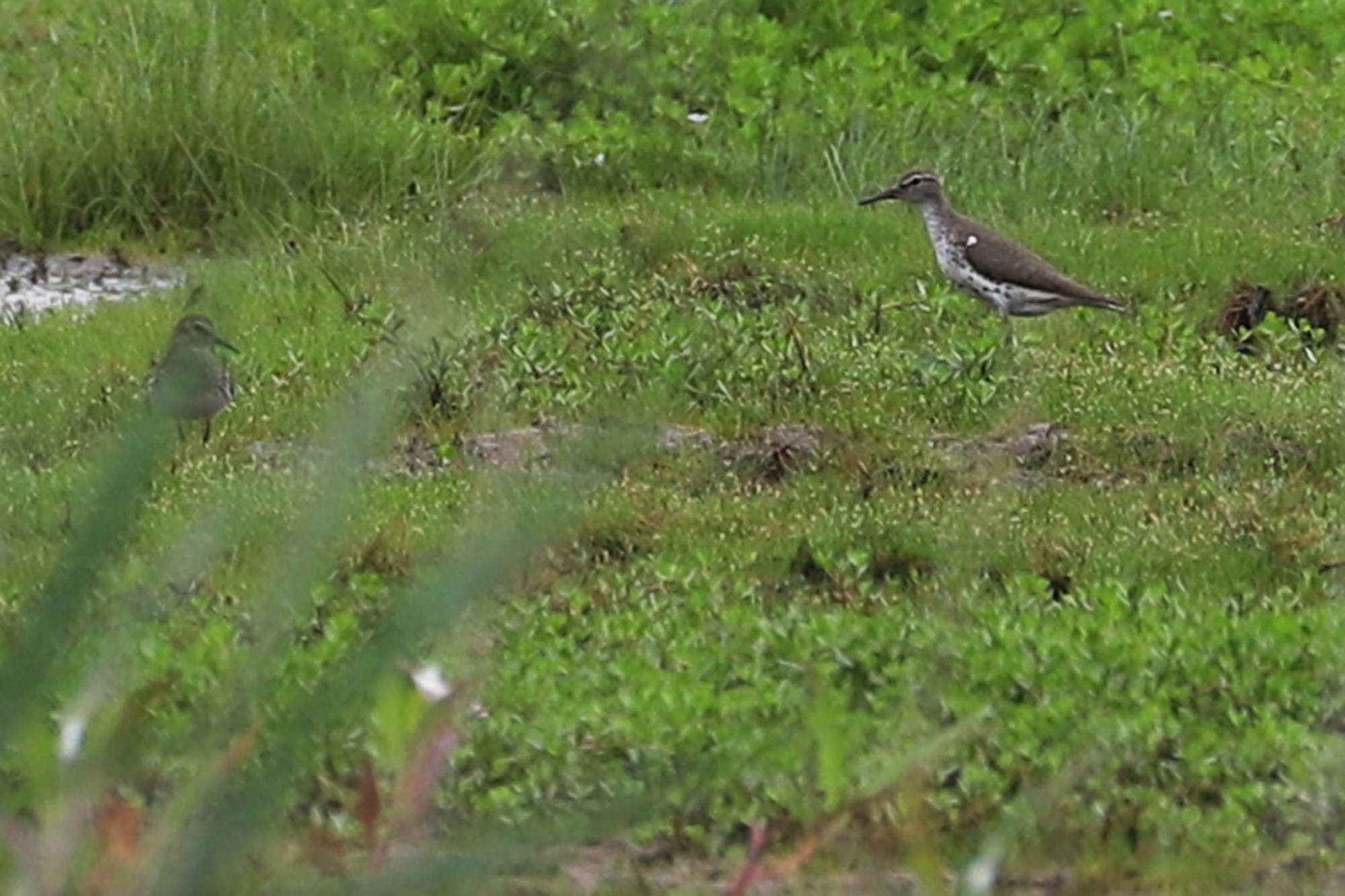 Least & Spotted Sandpipers / 7 Jul / Princess Anne WMA Whitehurst Tract