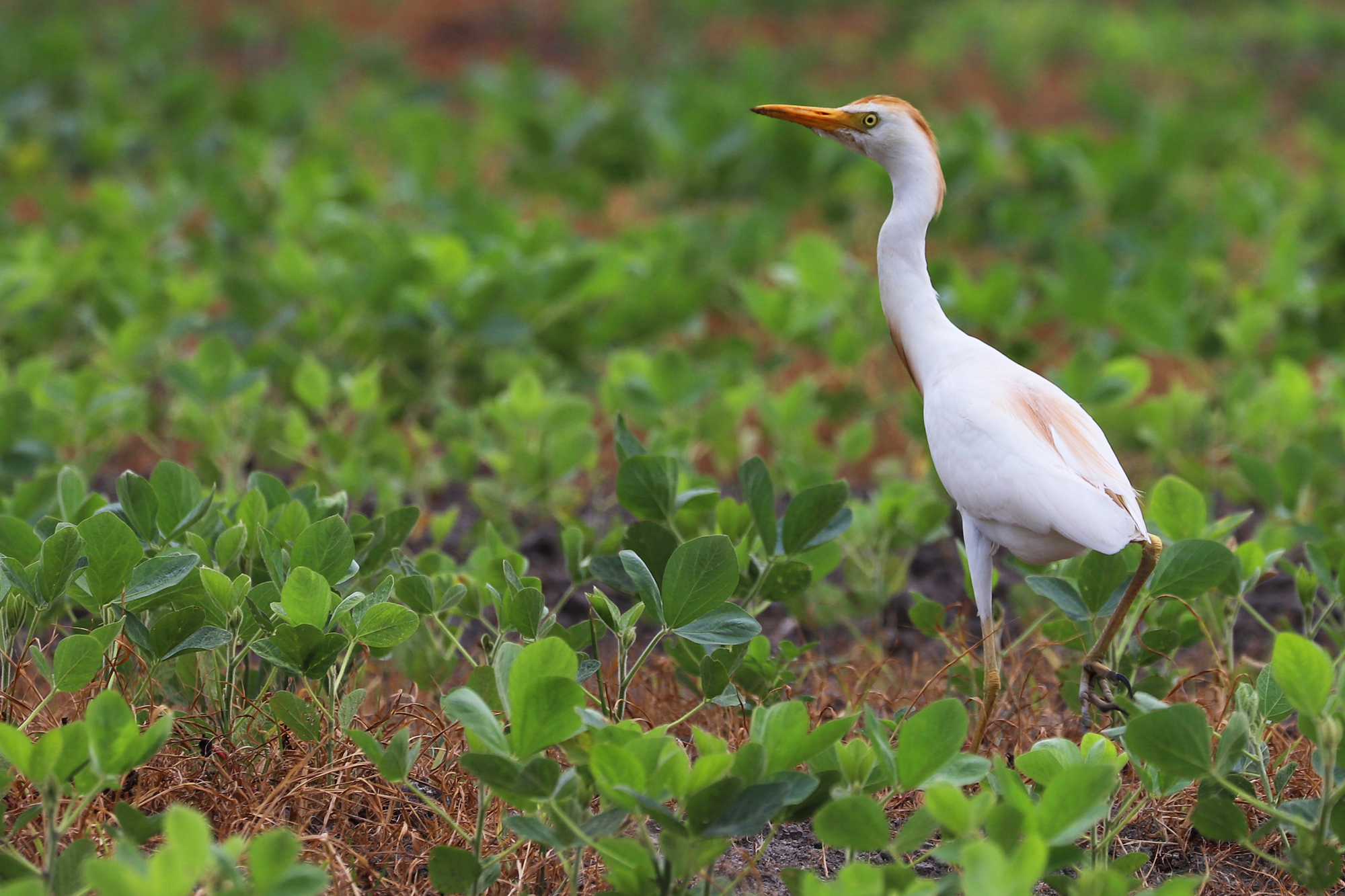 Cattle Egret / 7 Jul / Back Bay Landing Rd.