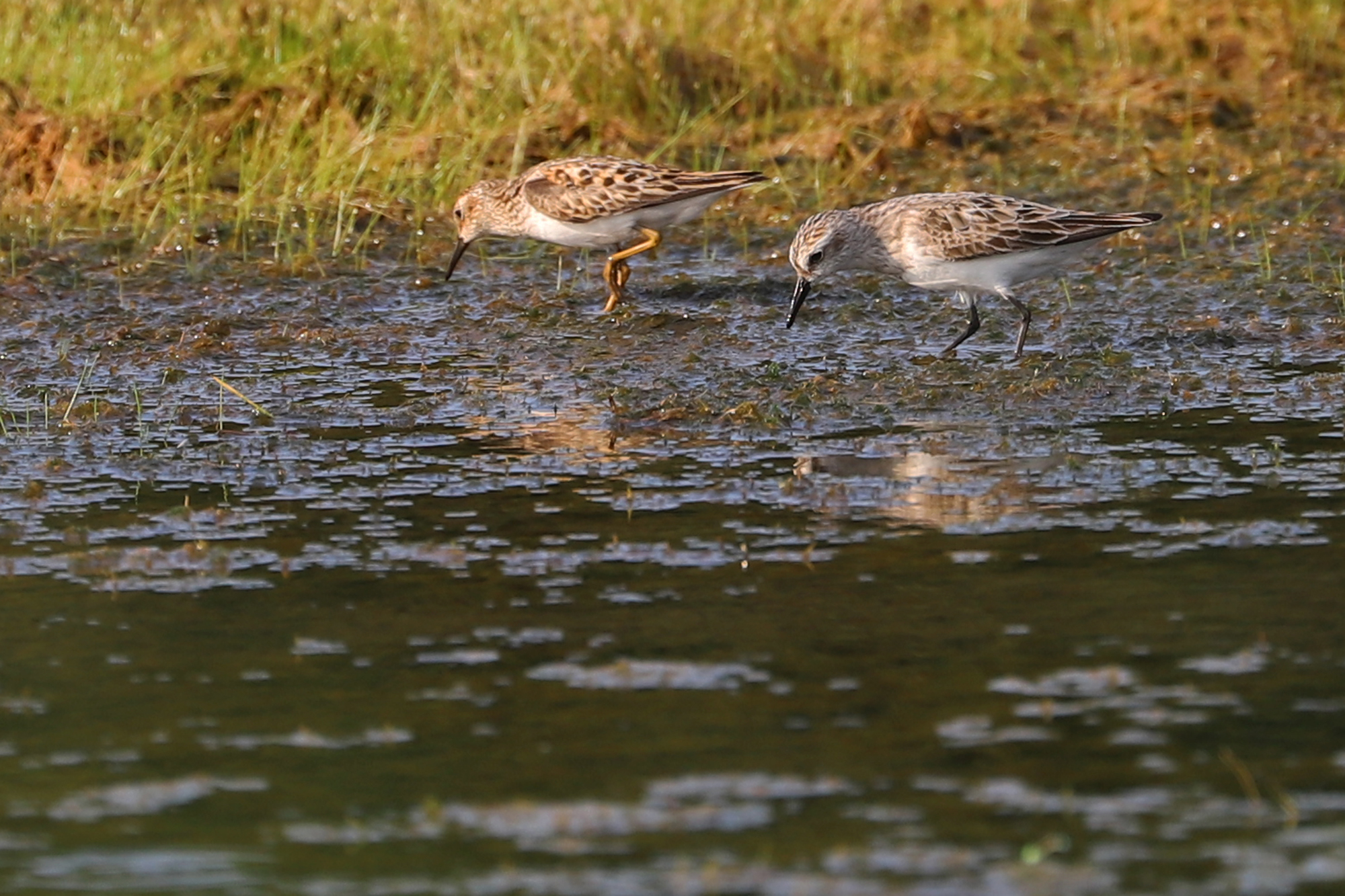Least & Semipalmated Sandpiper