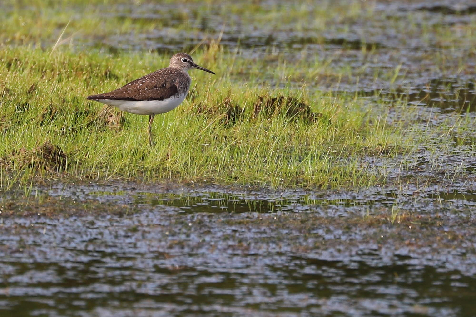 Princess Anne WMA's Whitehurst Tract held a good variety of shorebirds throughout the month, like this Solitary Sandpiper; please click this photo to advance to the next!