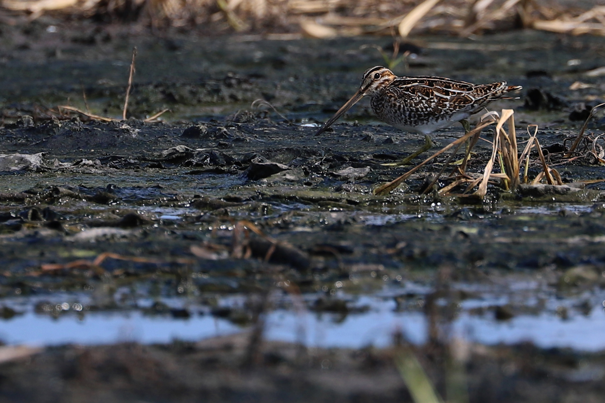 A private agricultural field along Shipps Cabin Road also held a wide variety of shorebirds throughout the month, like this early arriving Wilson's Snipe; please click this photo to advance to the next!