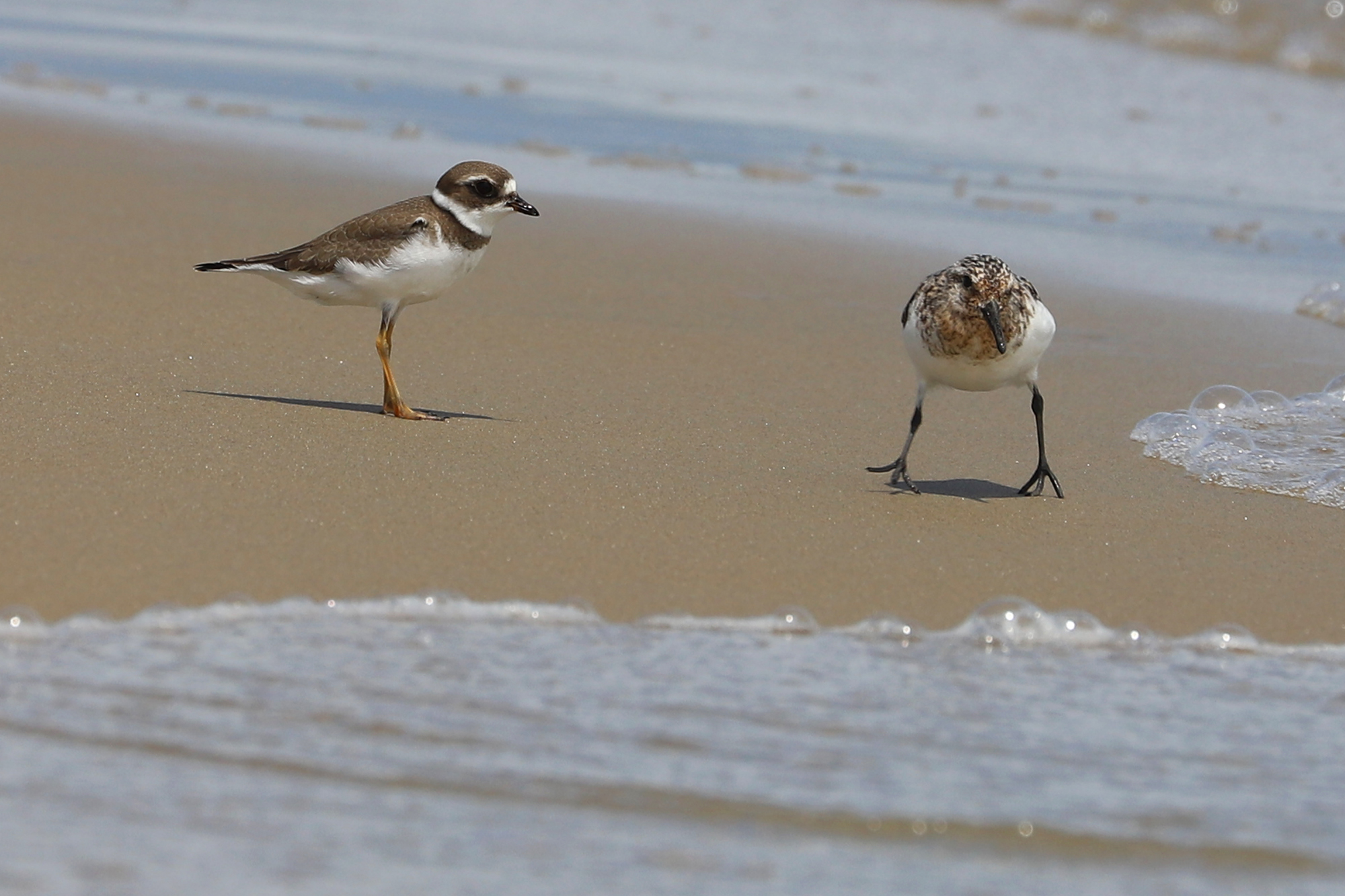 Semipalmated Plover & Sanderling
