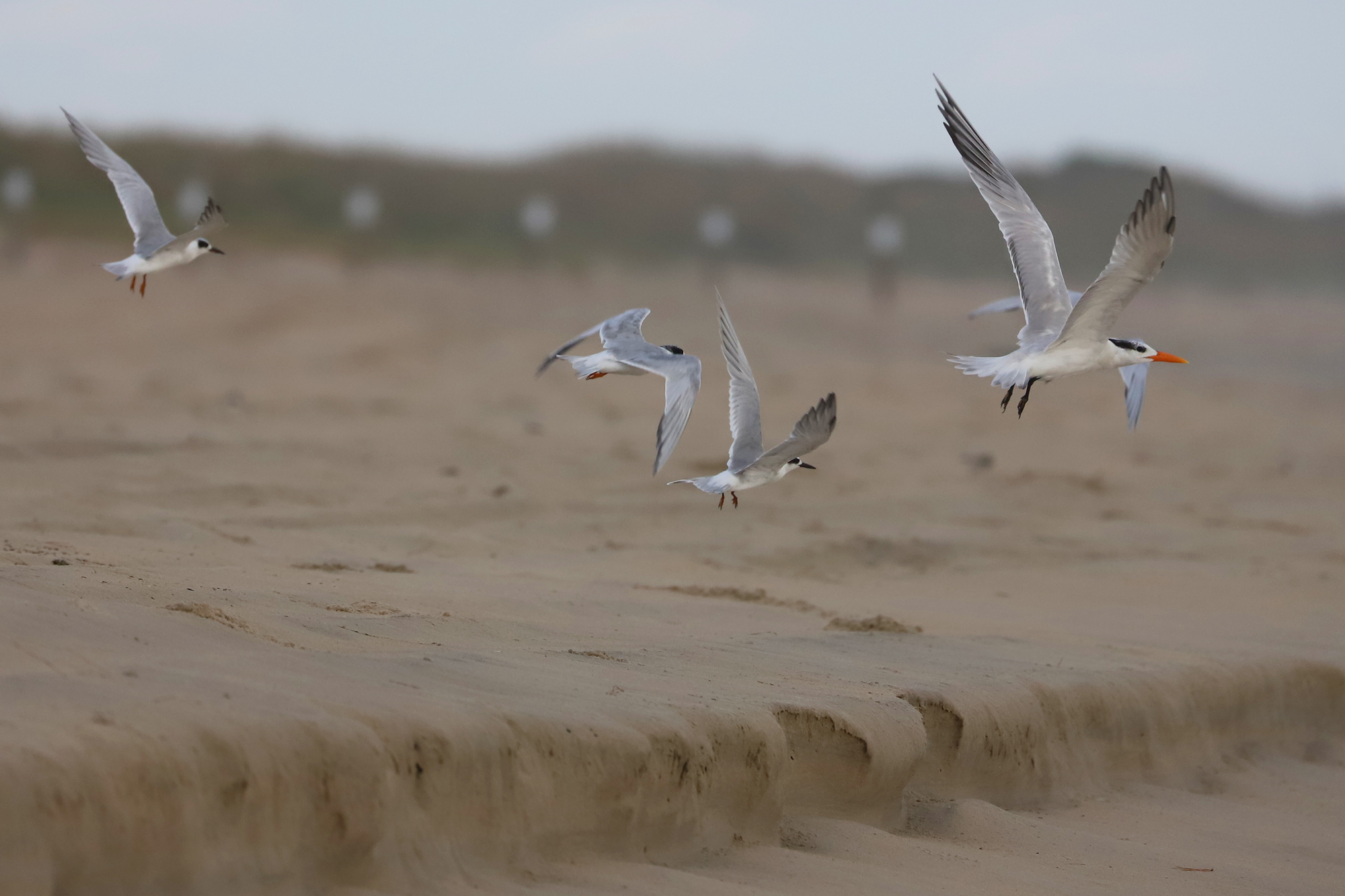 Forsters Terns & Royal Tern