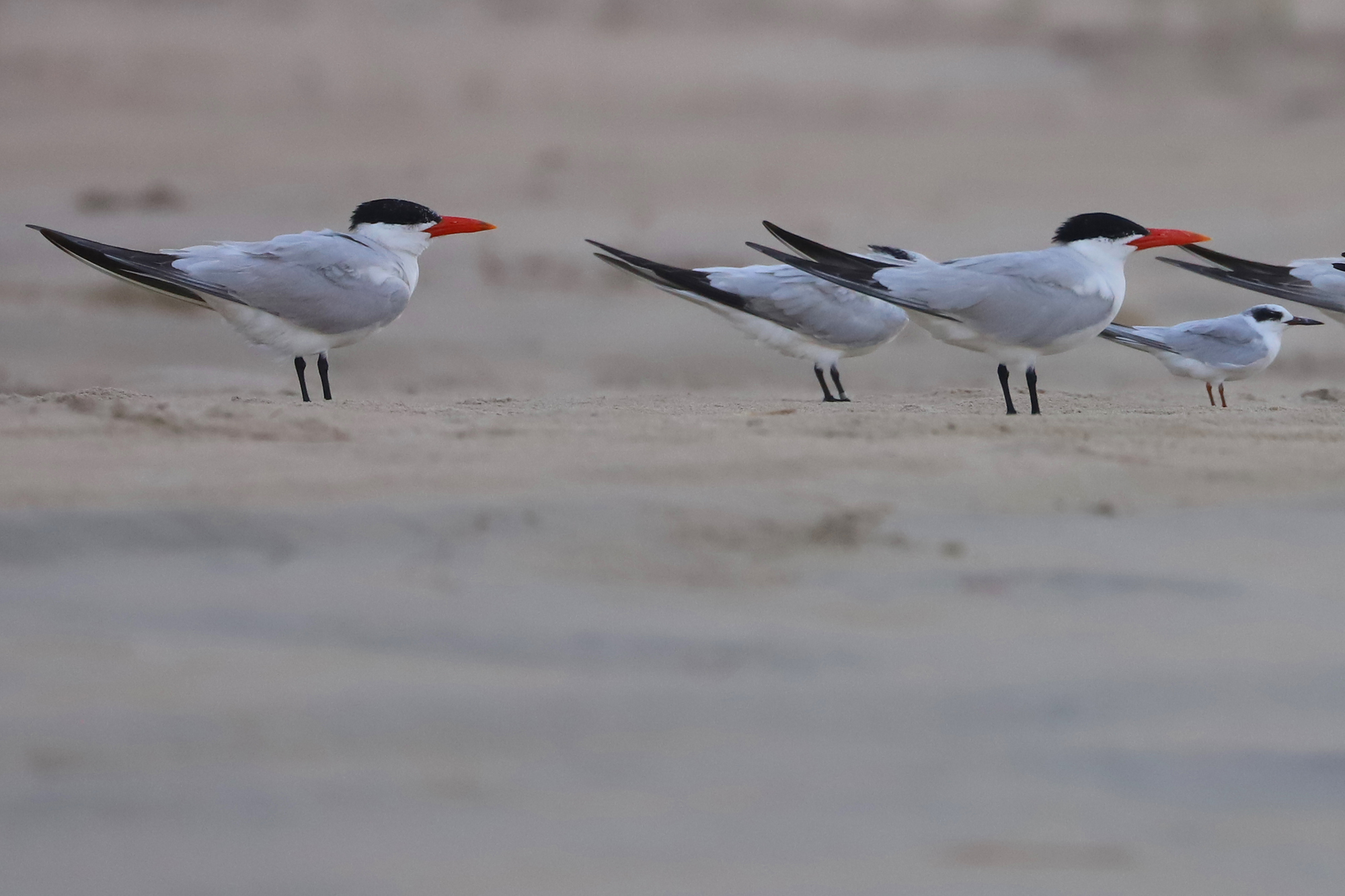 Caspian & Royal Terns