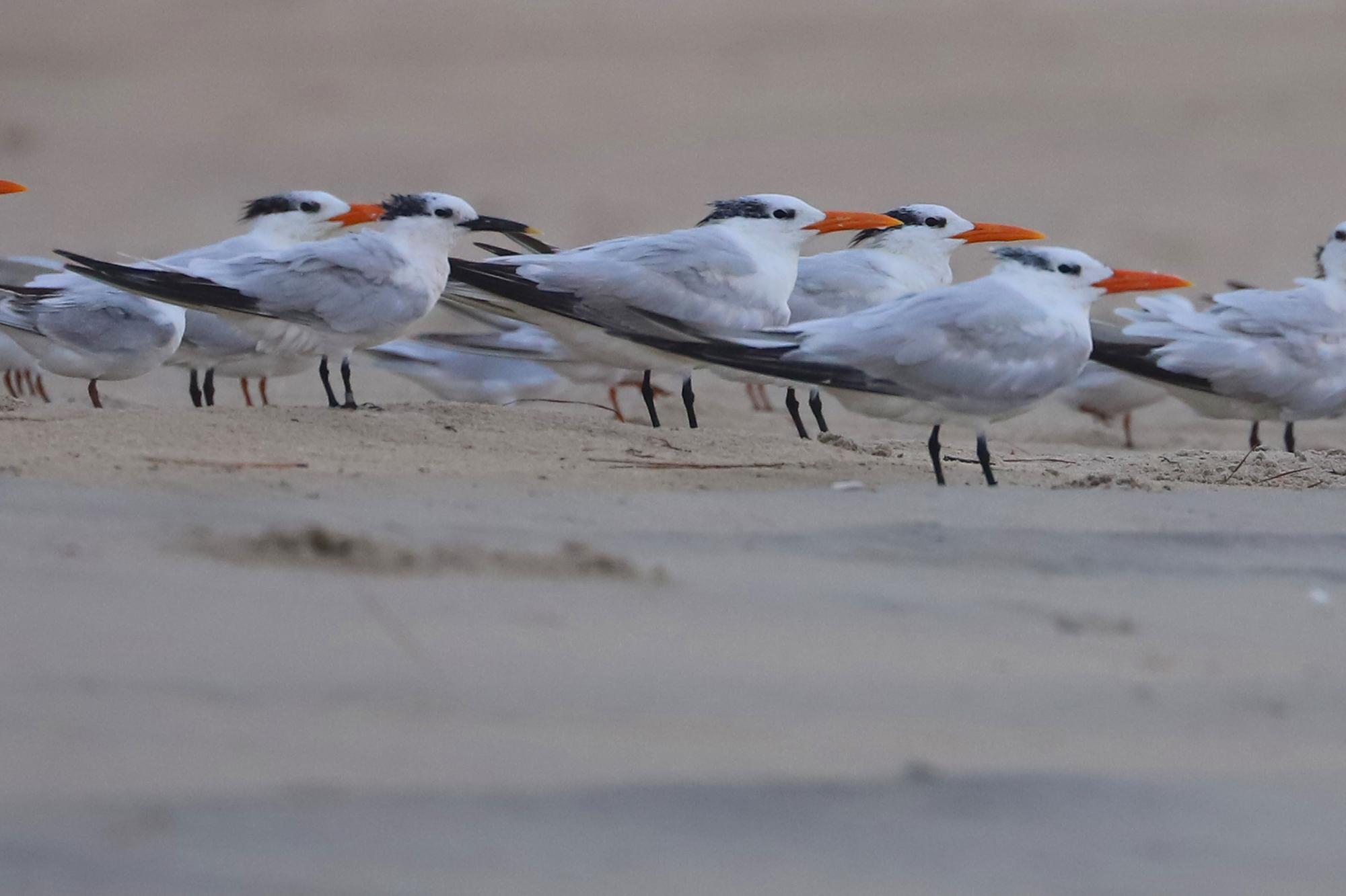 Sandwich & Royal Terns