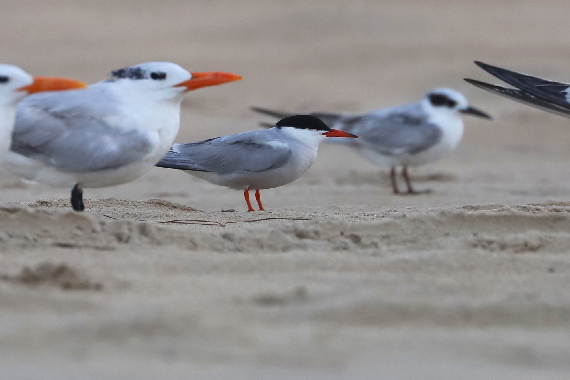 Common, Forster's & Royal Terns