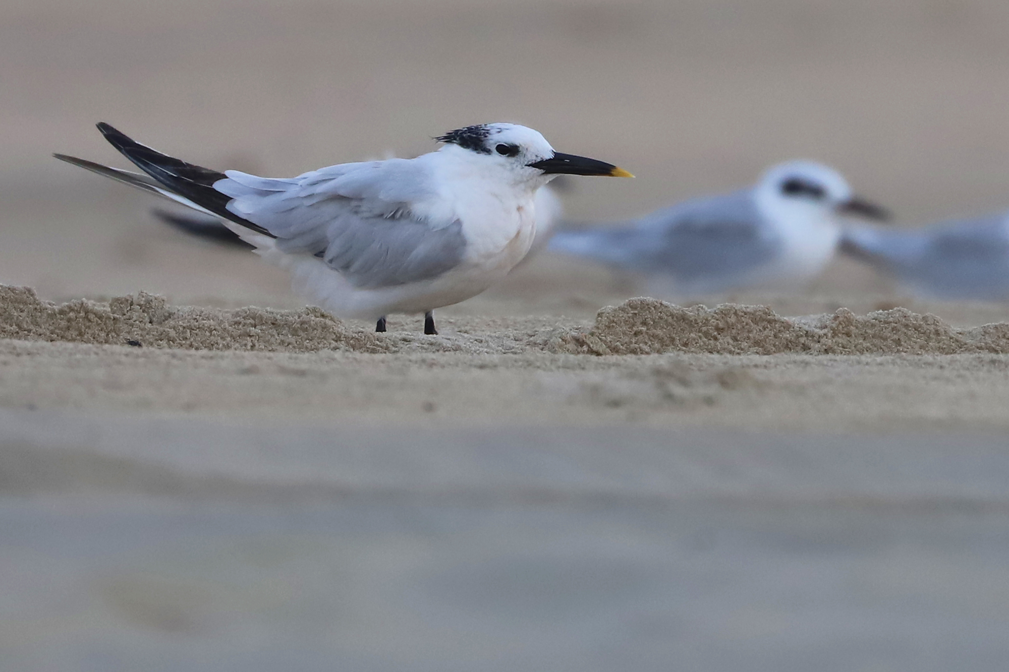 Sandwich & Forster's Terns