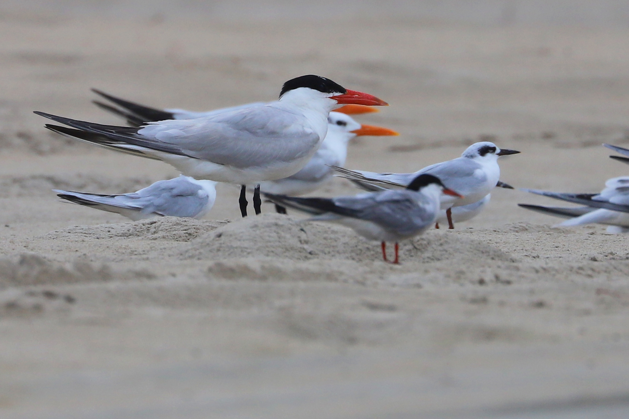 Caspian, Common, Forster's & Royal Terns