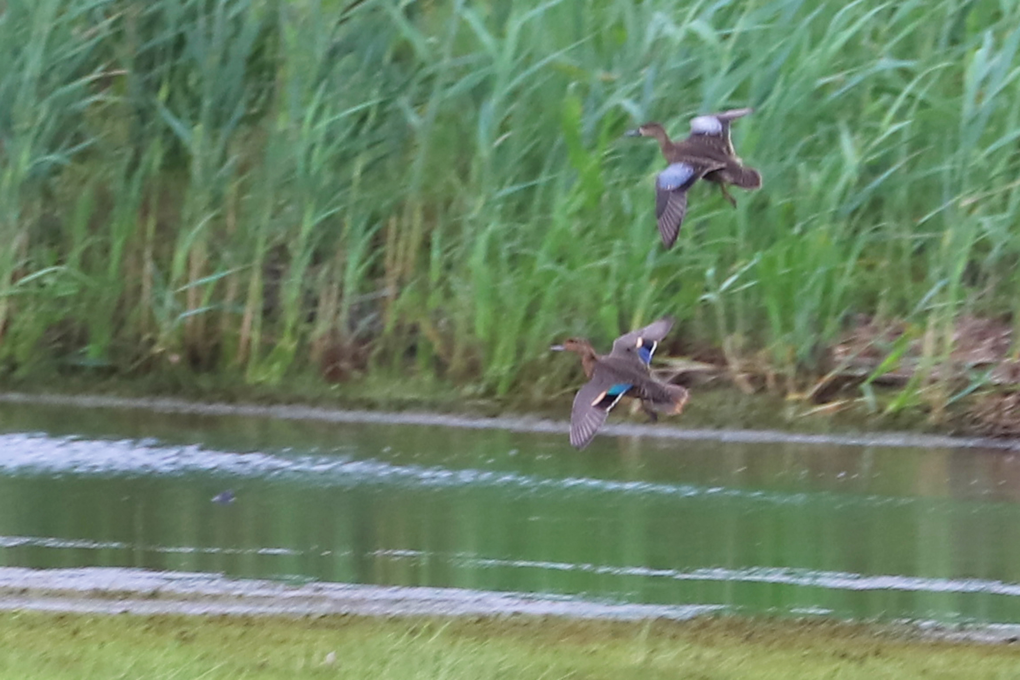 Green-winged & Blue-winged Teal