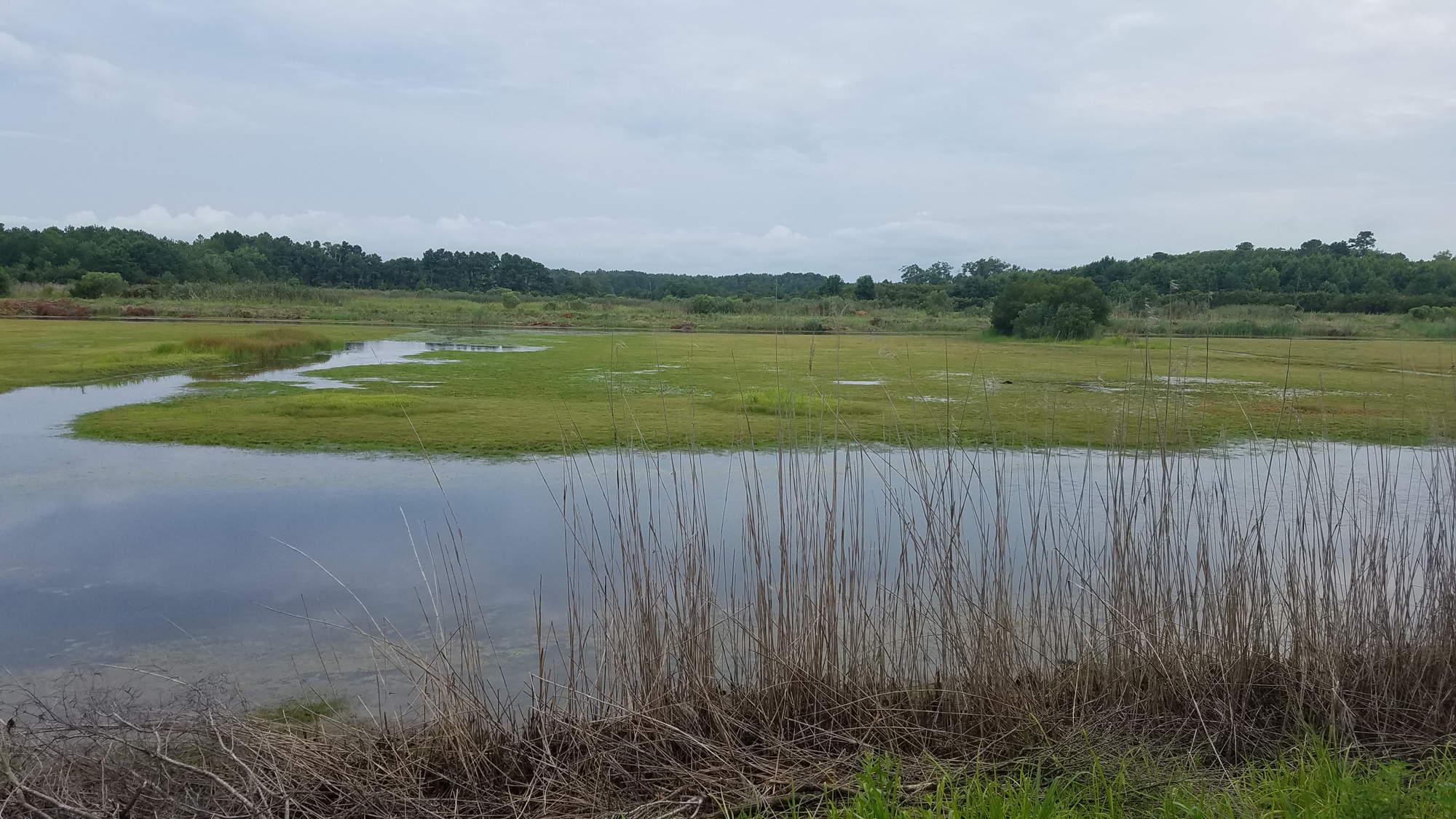 Shorebird Pond / 2 Aug / Princess Anne WMA Whitehurst Tract